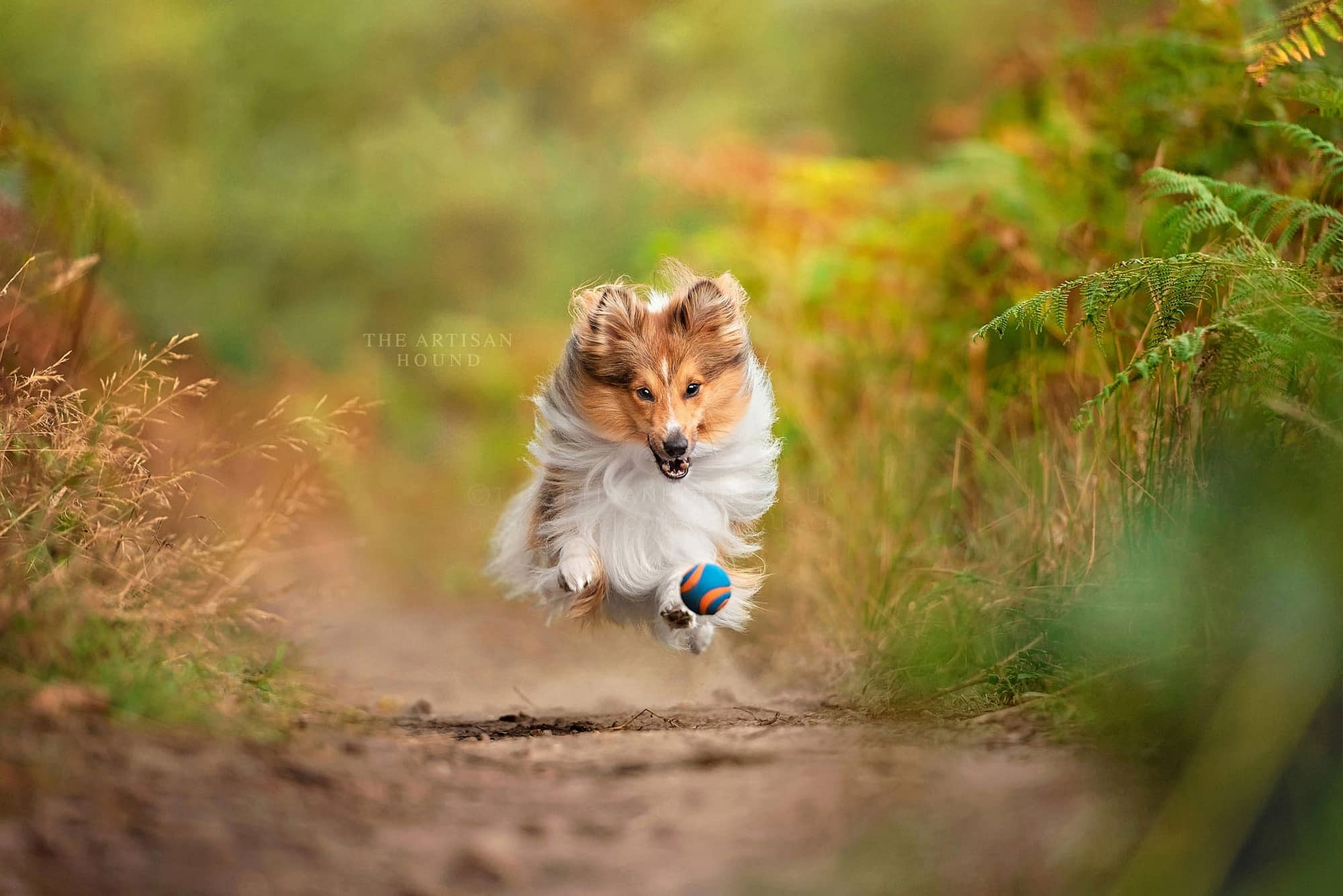 Sheltie chasing ball down woodland path in Northamptonshire