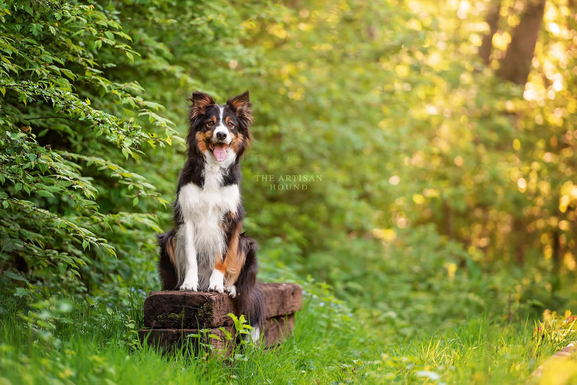 Border Collie sitting on wooden planks in woods