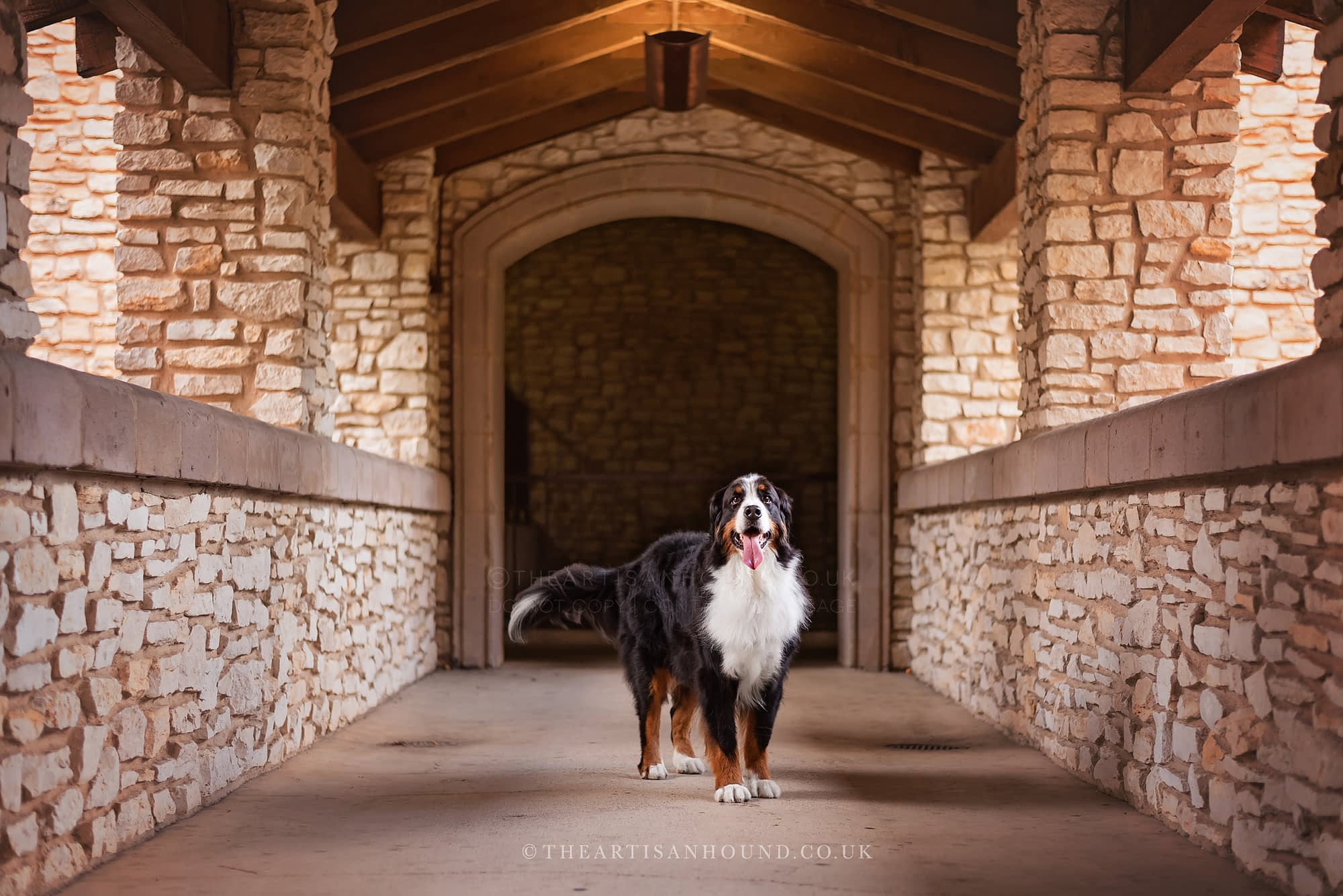 Bernese mountain dog standing in rustic urban archway