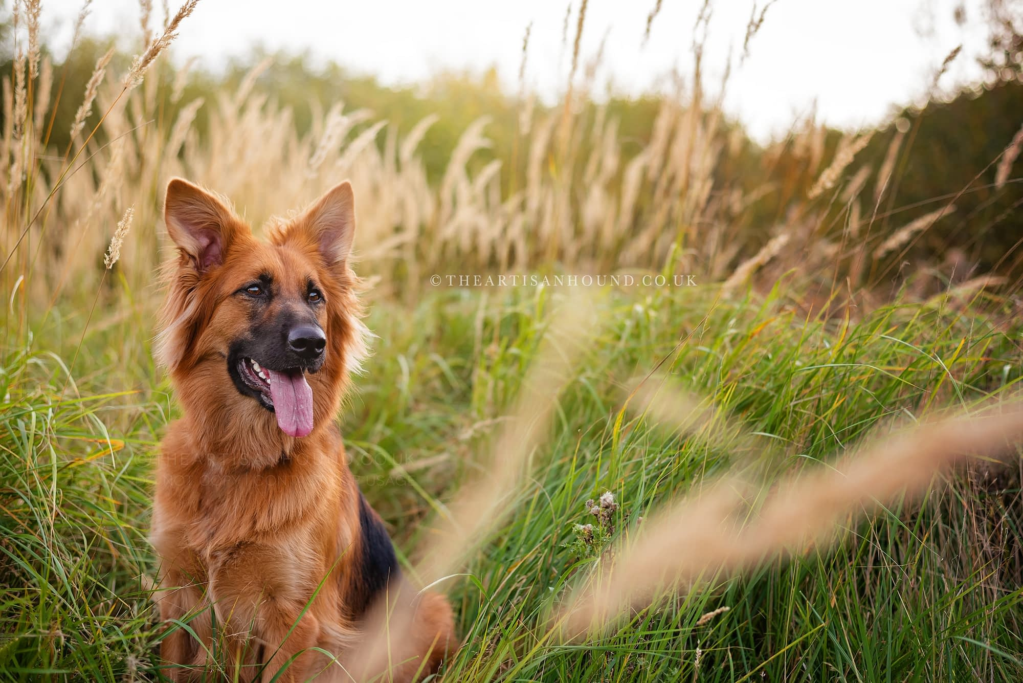 Large long-haired dog sitting in tall summer grass