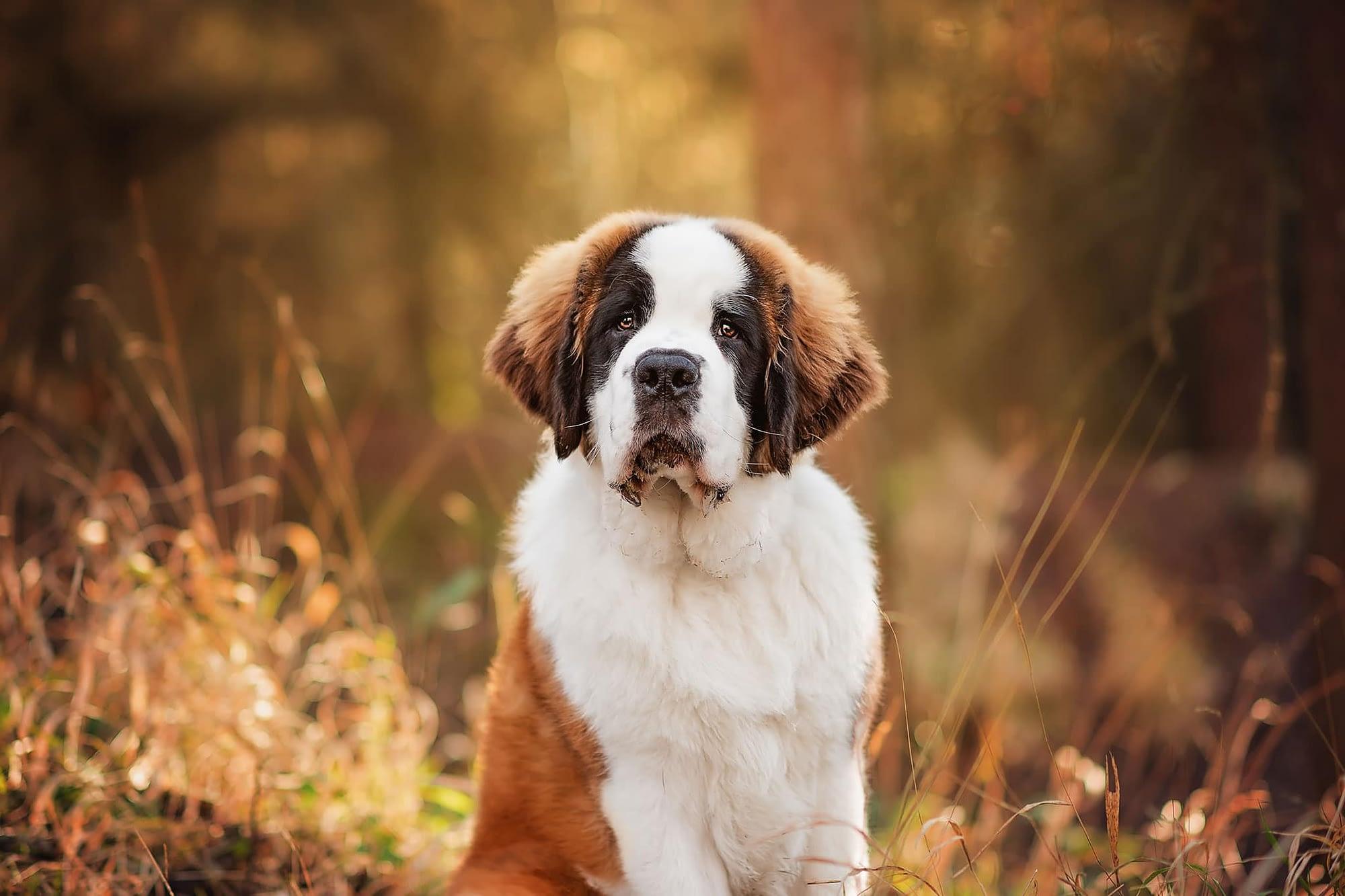 st bernard puppy in woodland northamptonshire