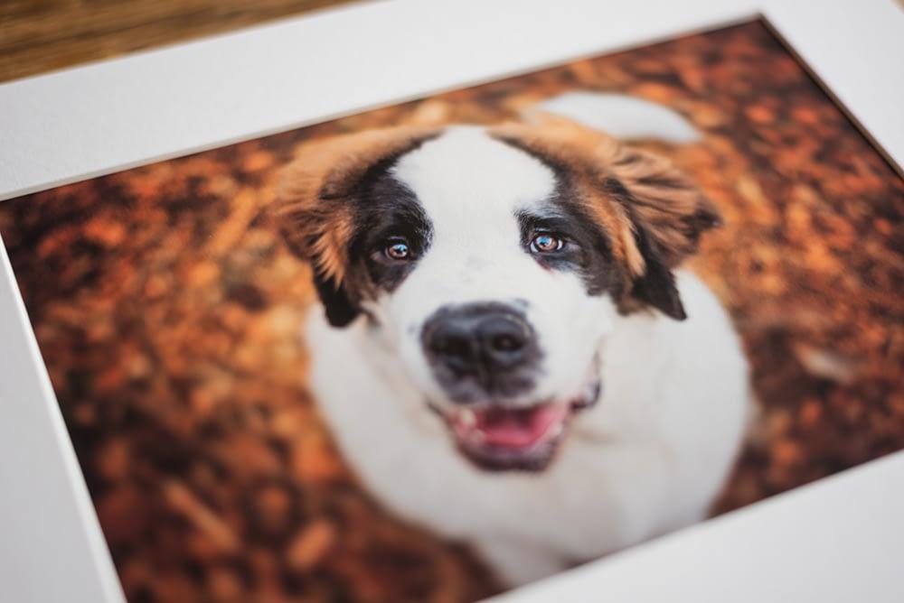fine art prints of a st bernard puppy