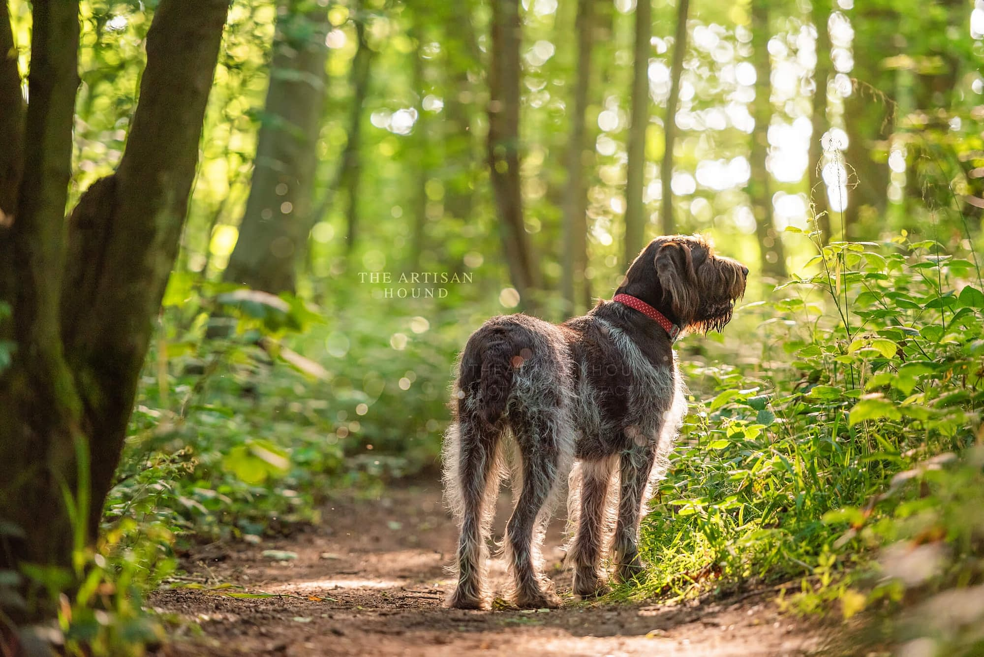 Italian Spinone dog standing in the woods