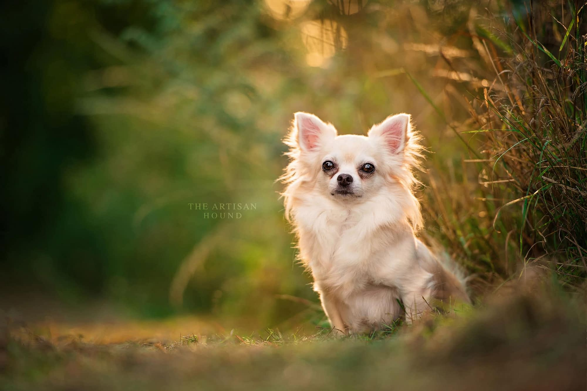 Long Haired Chihuahua sitting in park on summer evening
