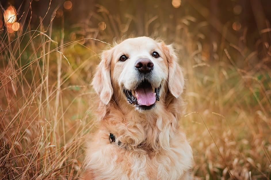 Golden Retriever portrait in tall grass