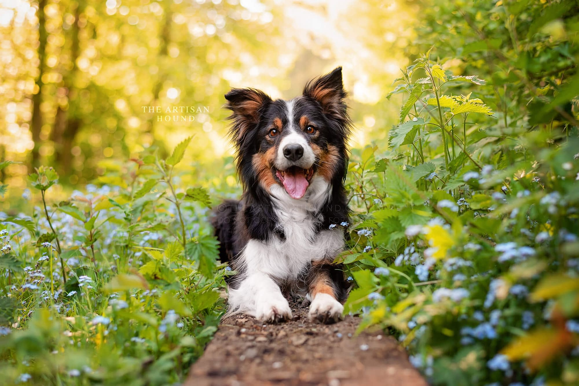 Border Collie lying down on wooden beam in spring woodland