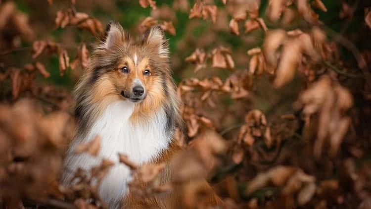 Sheltie dog in autumn leaves Northamptonshire woodland