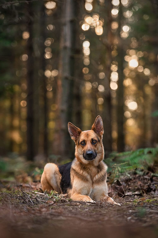 GSD sitting in autumn woods