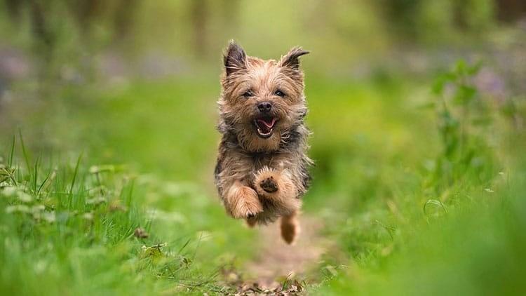 Border Terrier dog running in badby bluebell woods Northamptonshire