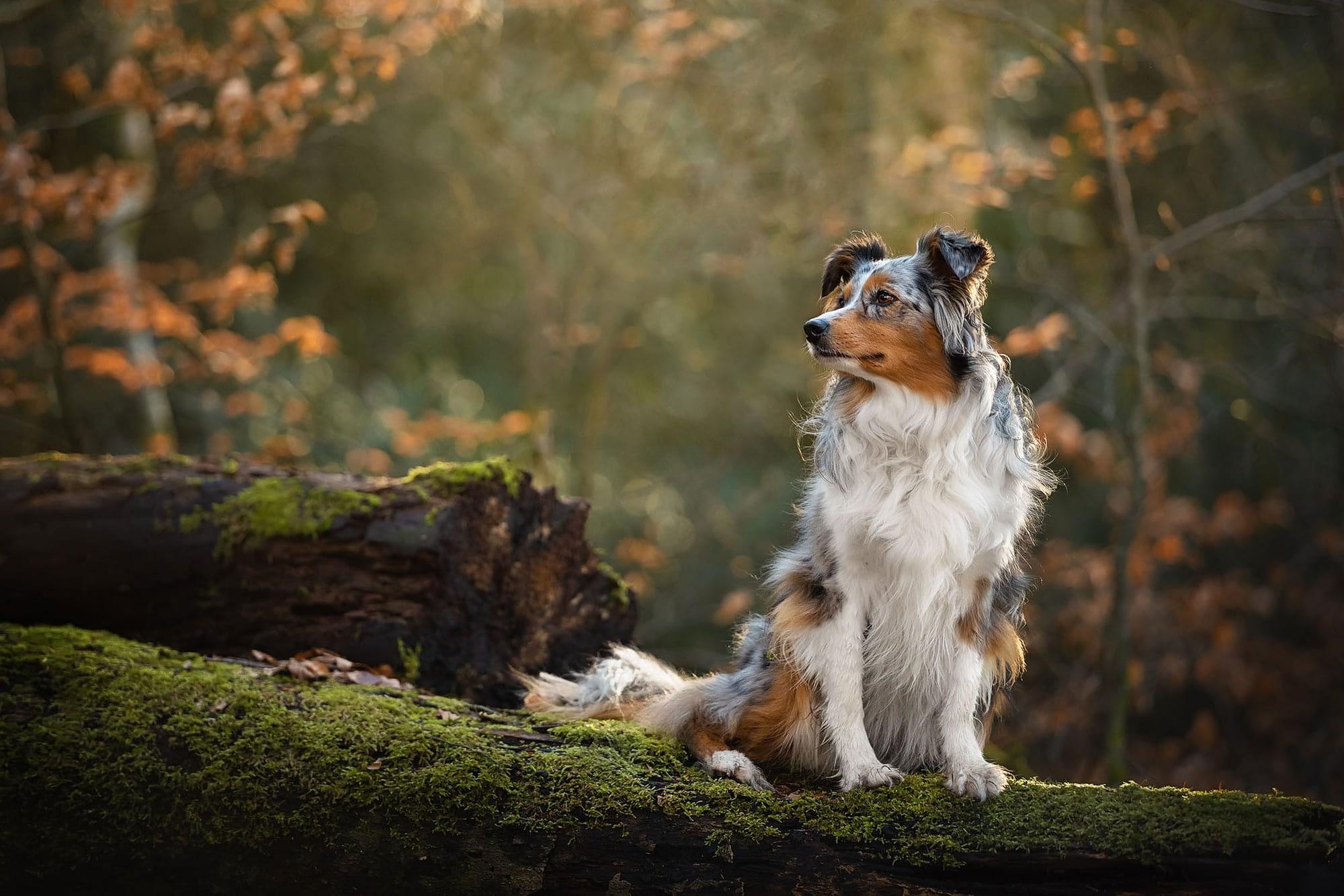 australian shepherd dog on log