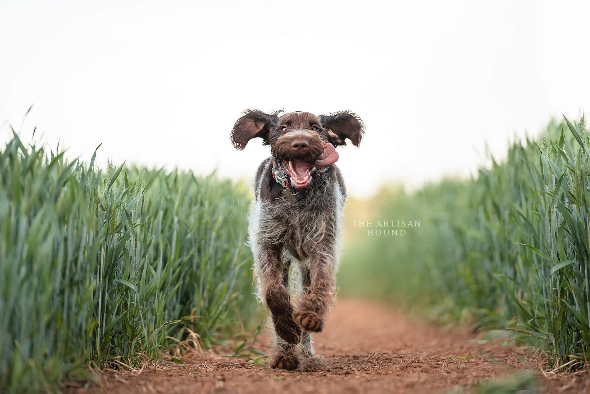 Young dog running through cornfield
