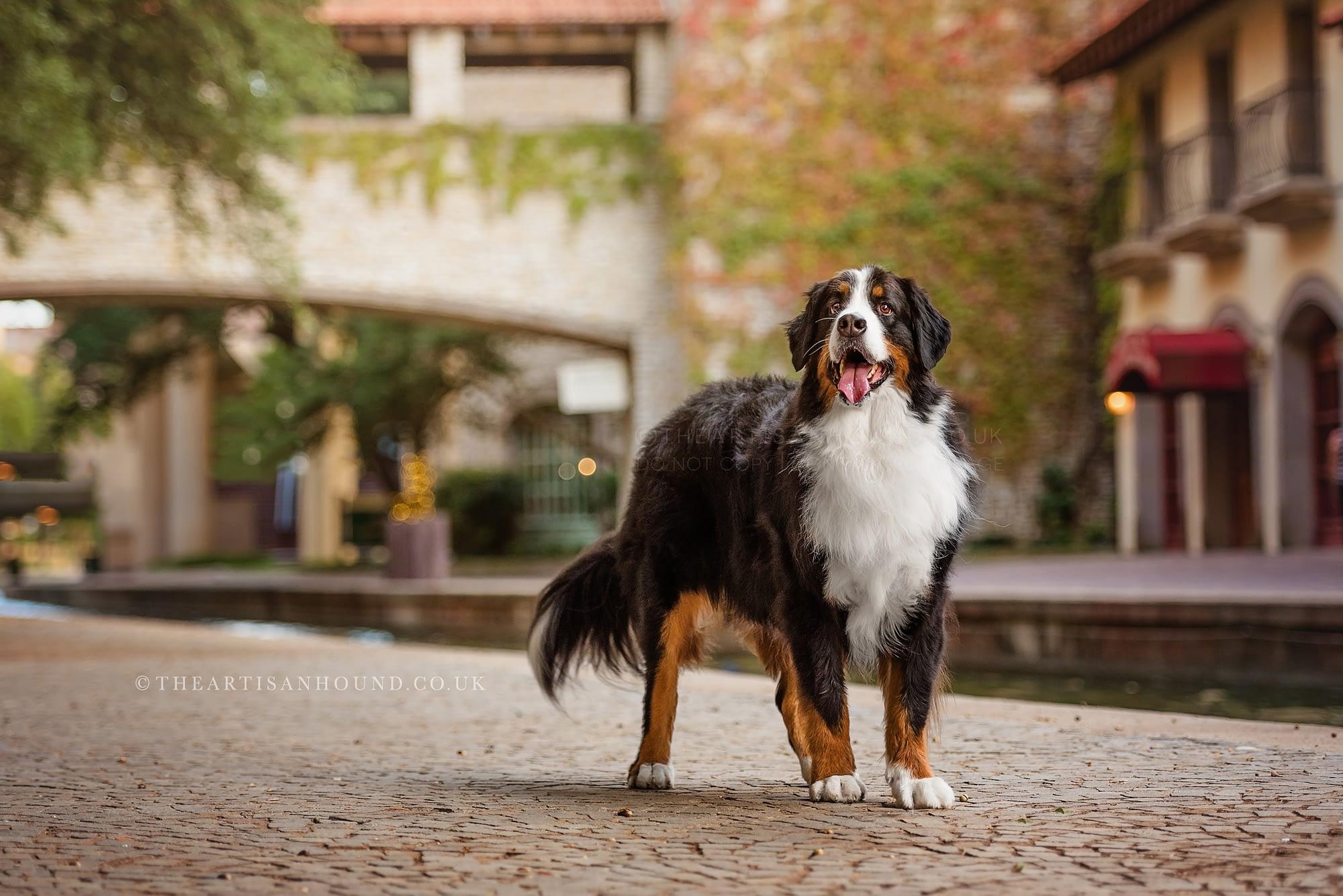 Bernese mountain dog standing beside rustic urban canal