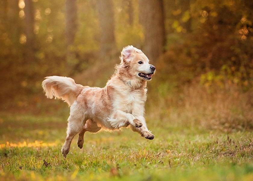 Golden Retriever dog running through Northamptonshire woodland