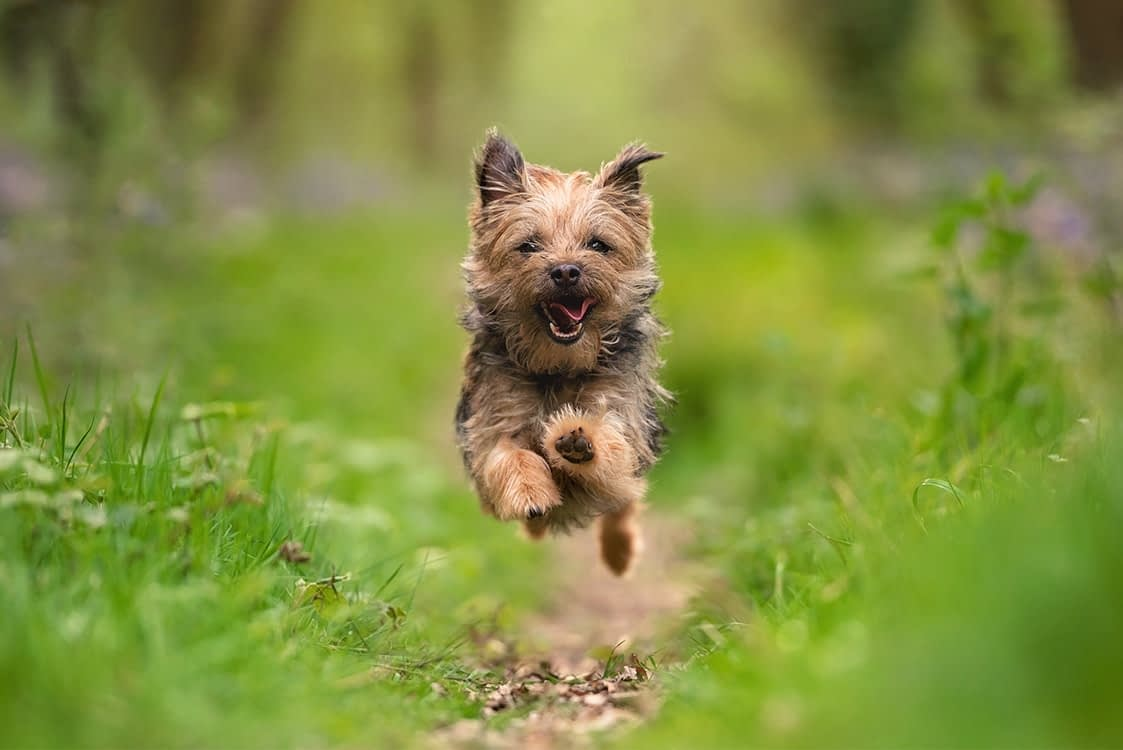 Yorkshire terrier running in bluebell woods badby