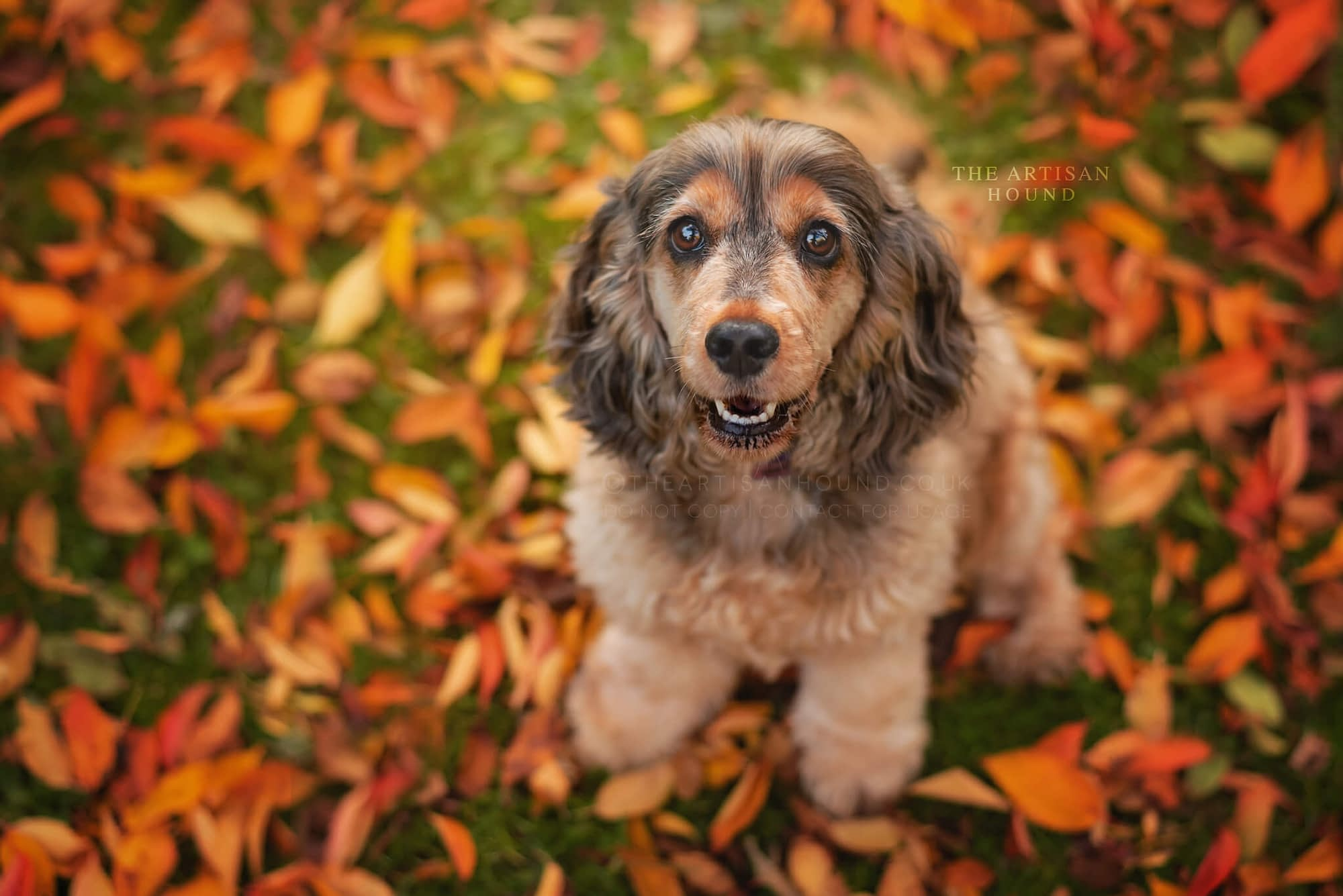 Cocker Spaniel dog sitting in autumn leaves