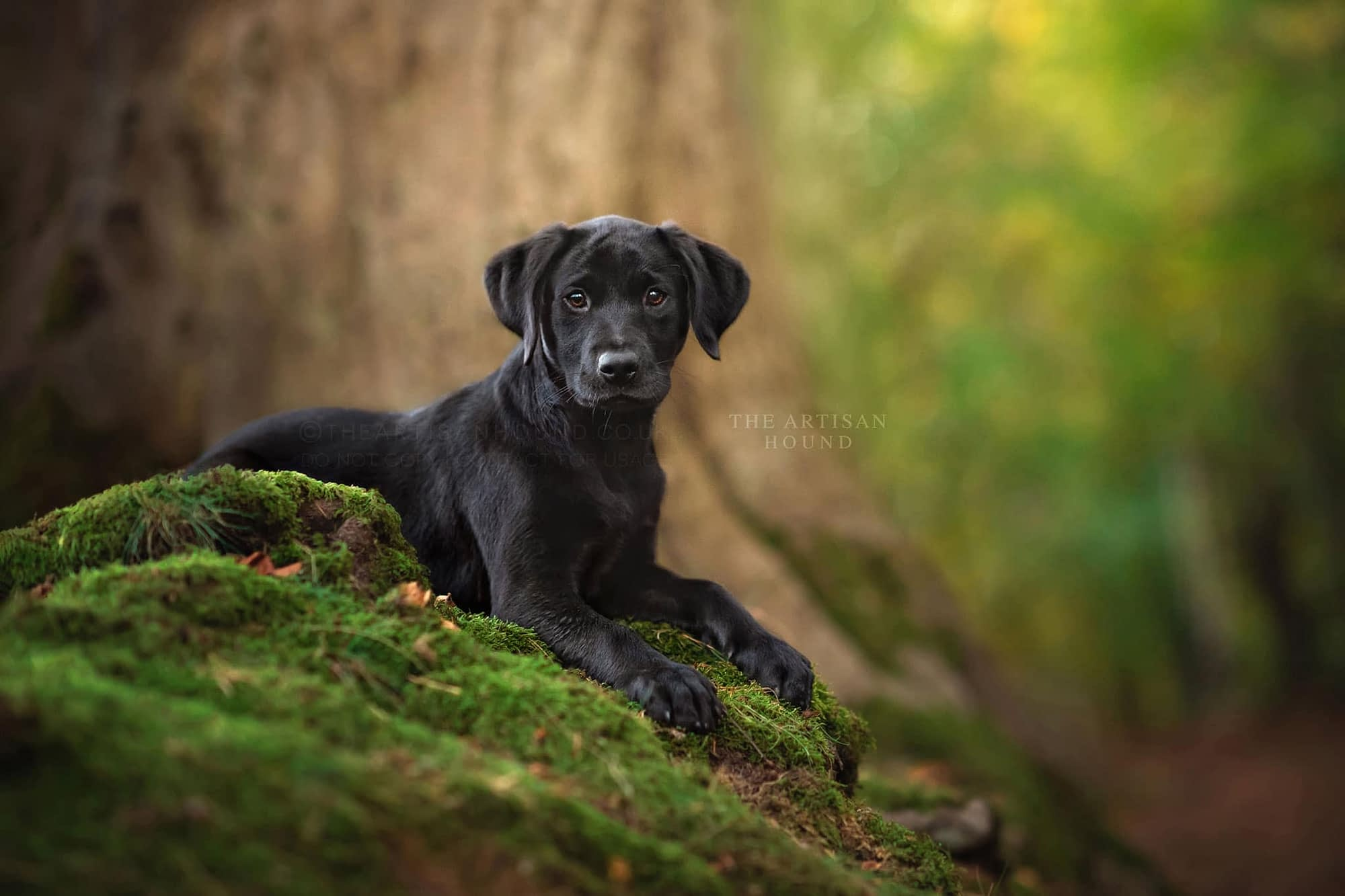 Black Labrador puppy lying on mossy tree roots in Harlestone Firs