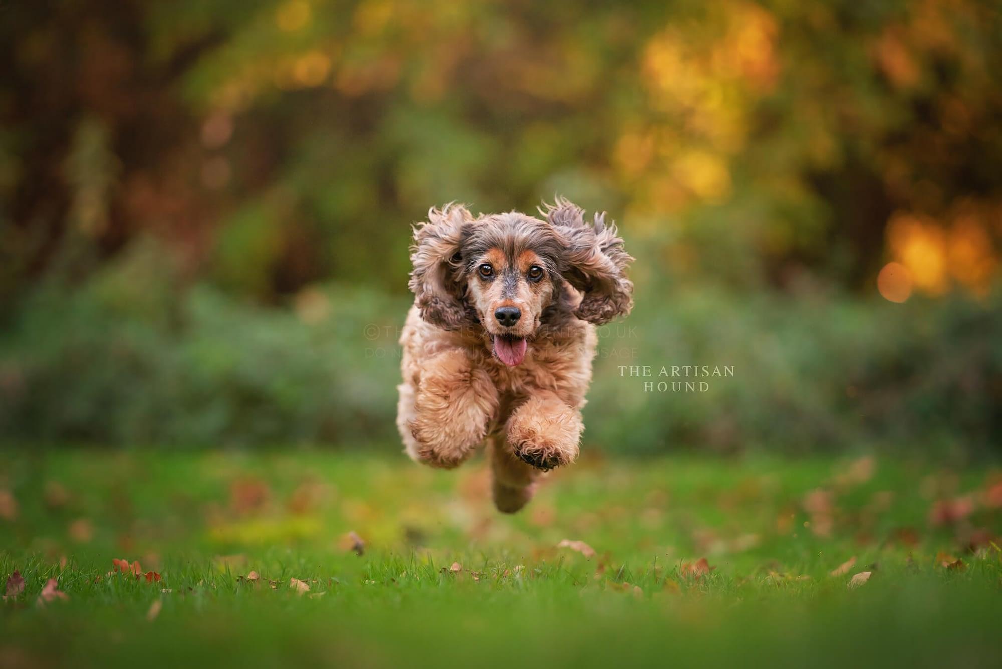 Cocker Spaniel running across park