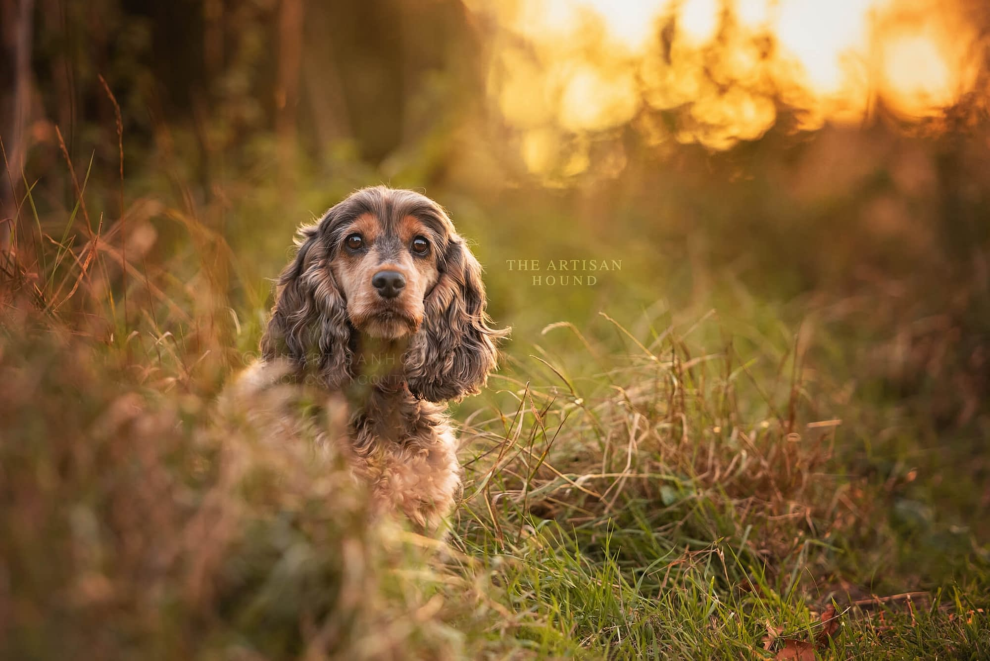 Cocker Spaniel sitting in tall grass at sunset