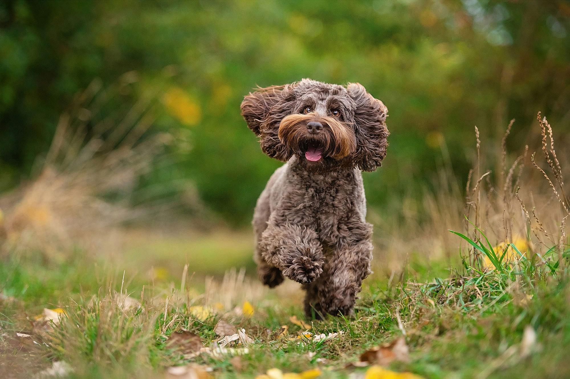 brown cockerpoo running in northampton field