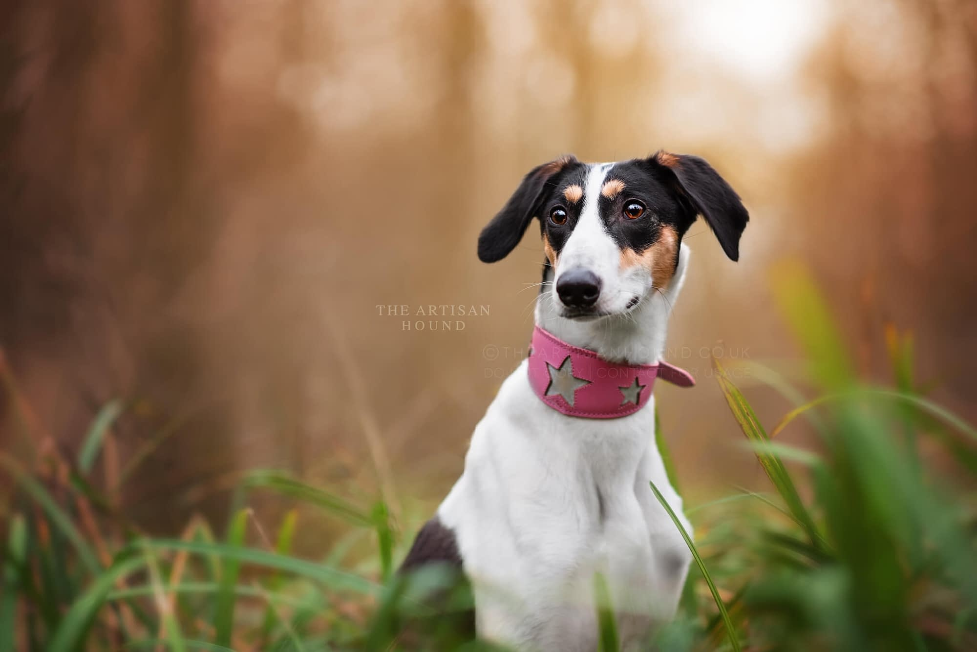 Lurcher wearing pink collar sitting in tall grass in woods