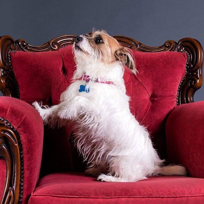 jack russell terrier stress signals