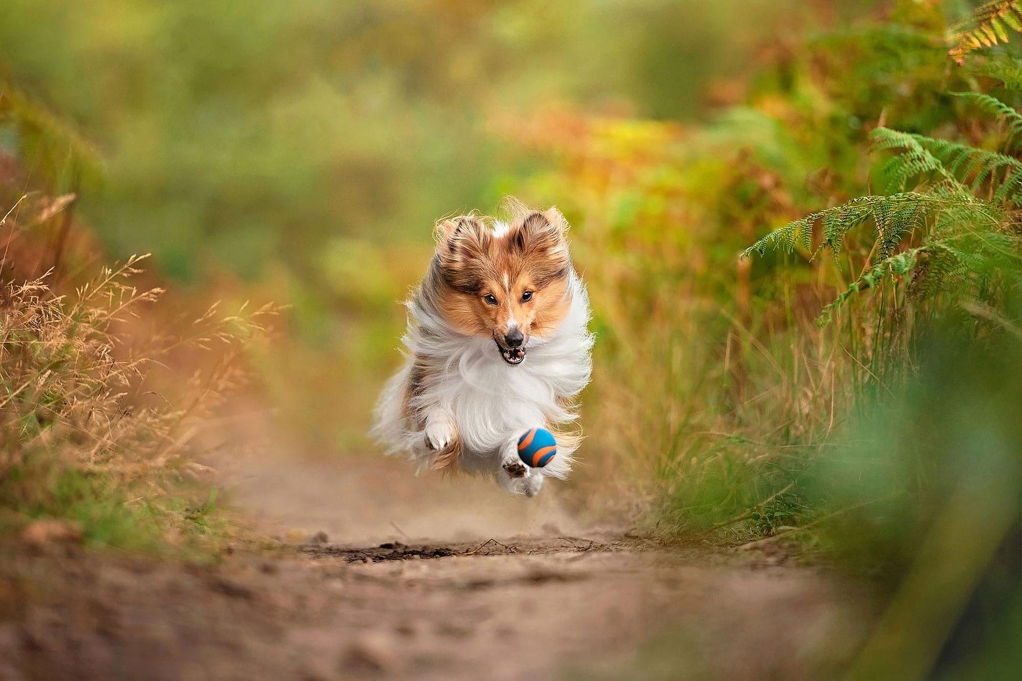 sheltie chasing ball harlestone firs northampton