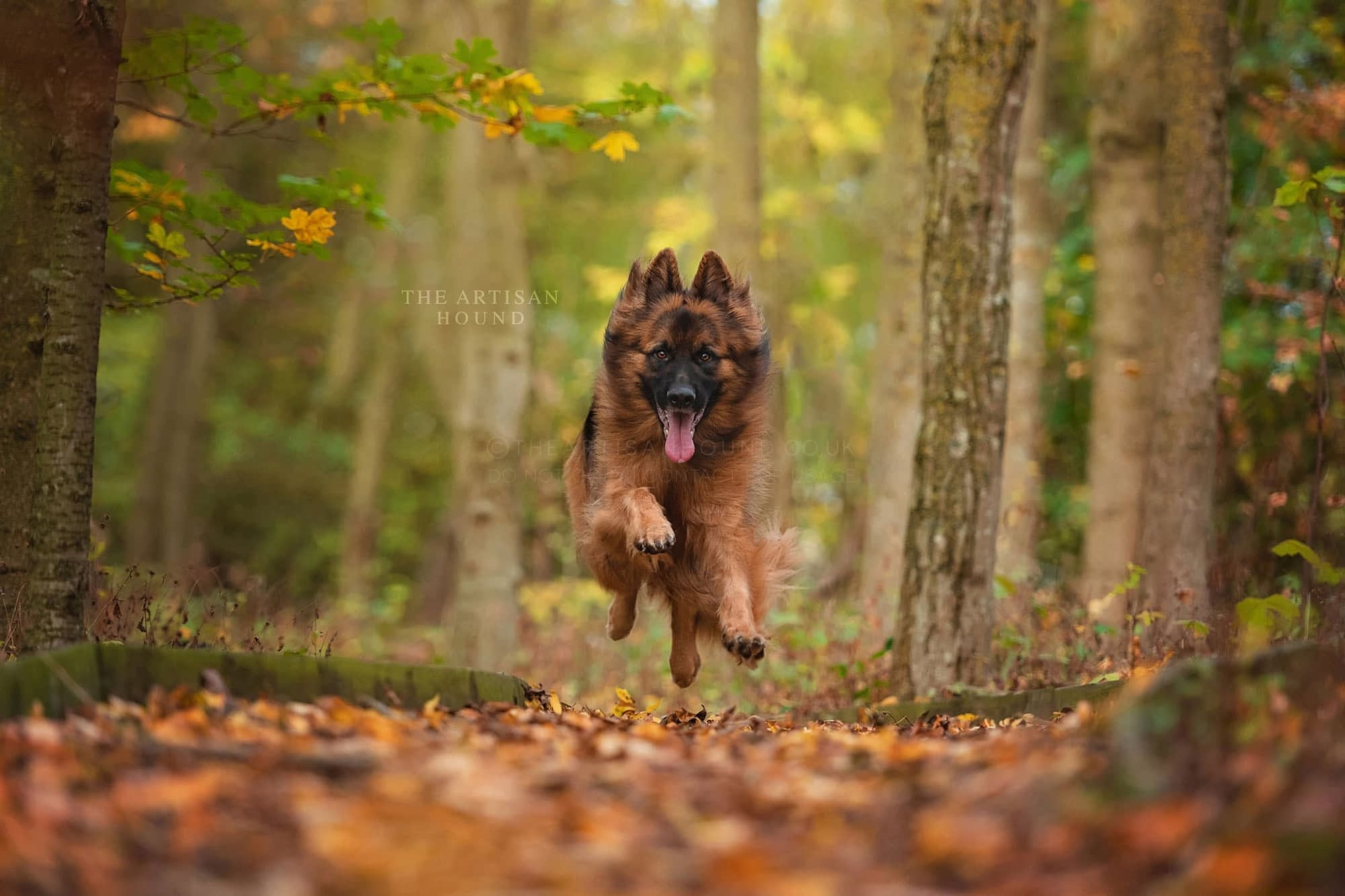 German Shepherd running through autumn leaves