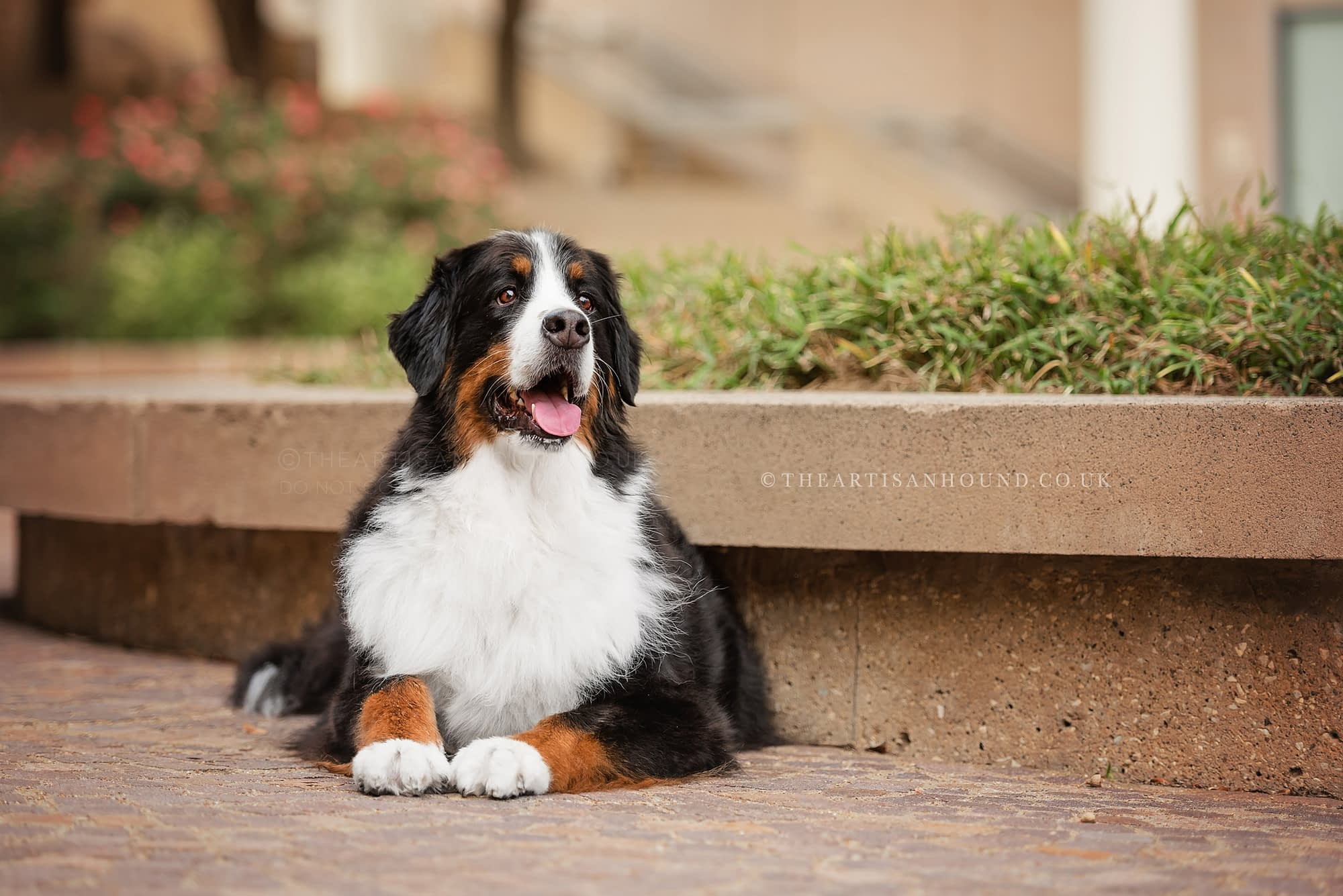 Dog portrait photographer Northamptonshire