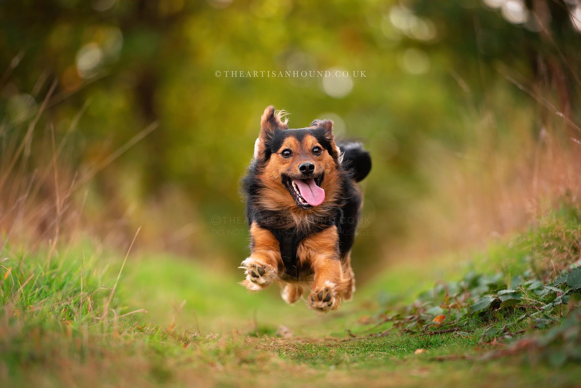 Black and tan crossbreed dog running towards camera