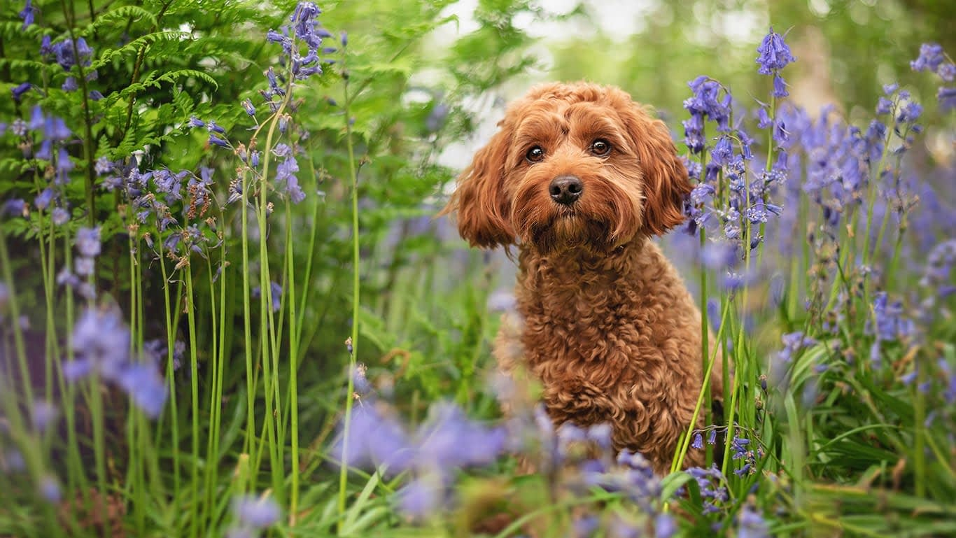 Red cockapoo in Coventry bluebell woods
