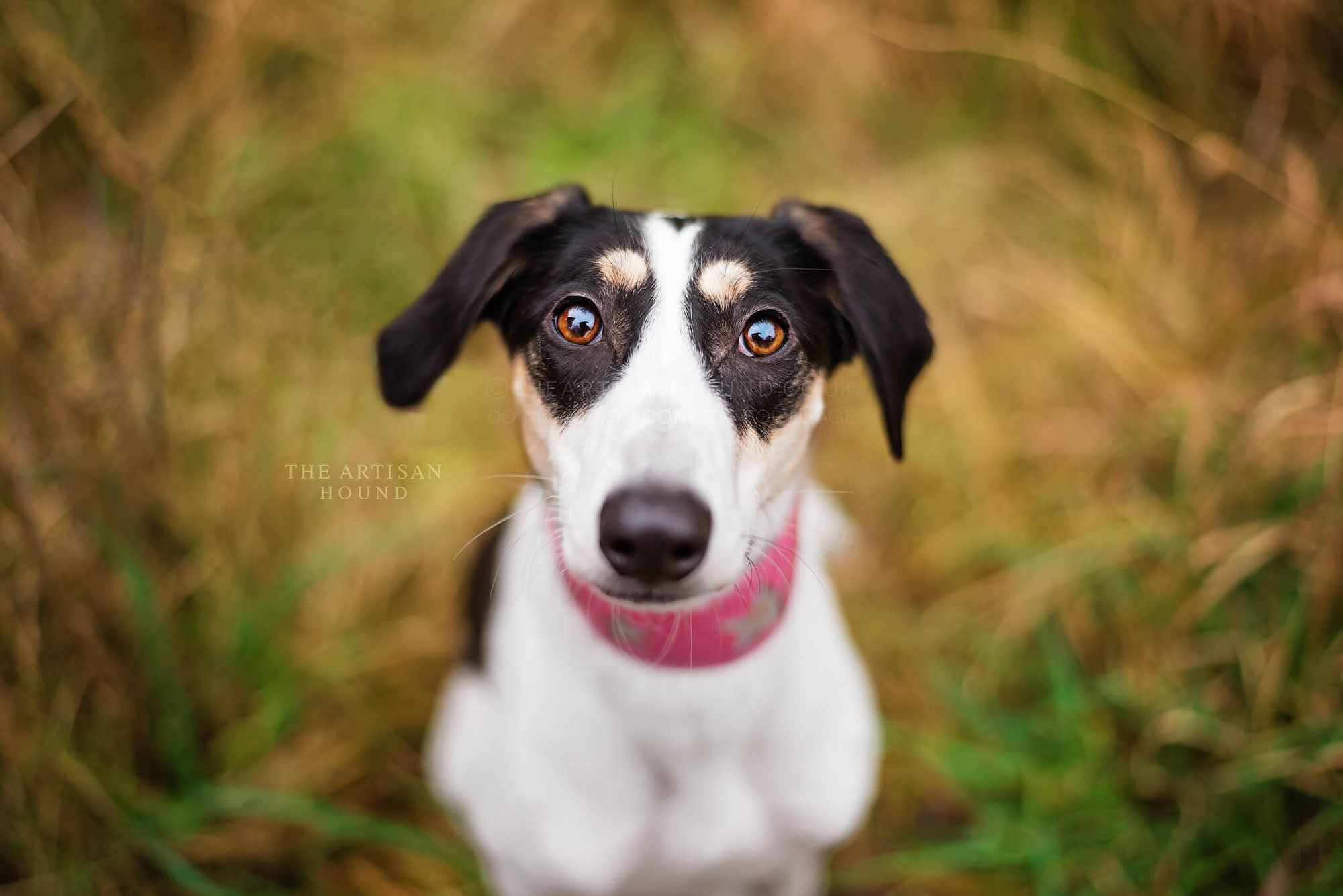 Lurcher looking up at photographer