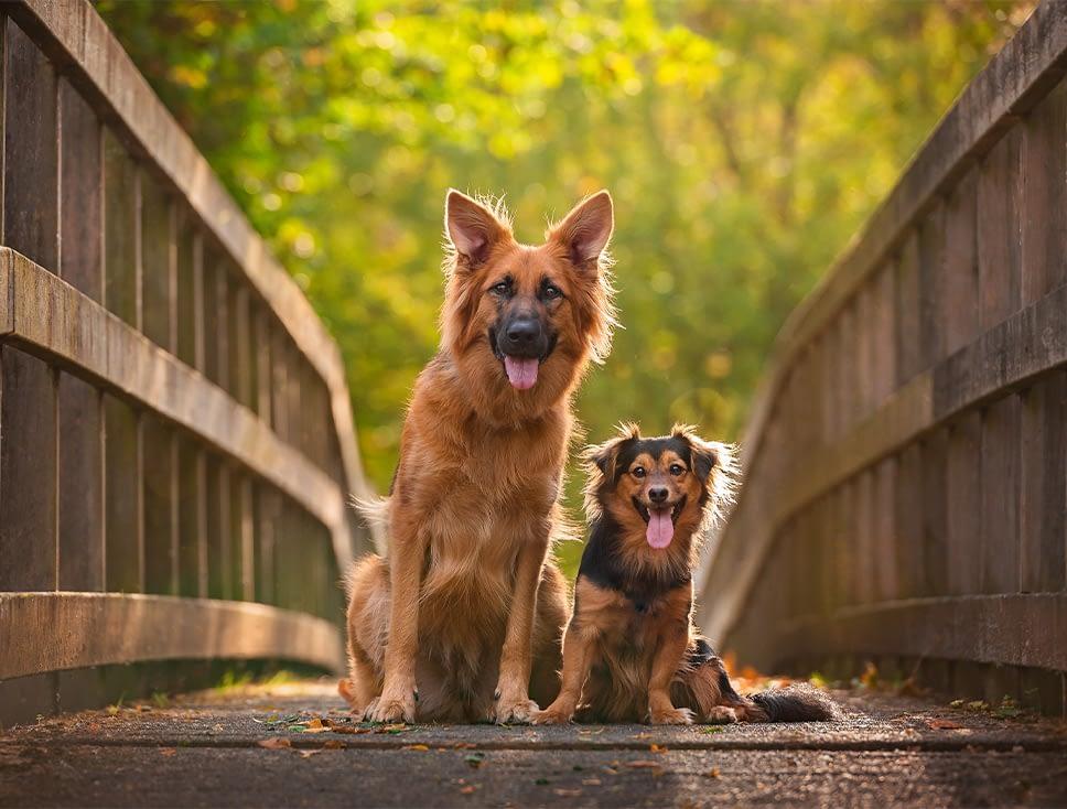 German Shepherd mix and small crossbreed dogs sitting on bridge