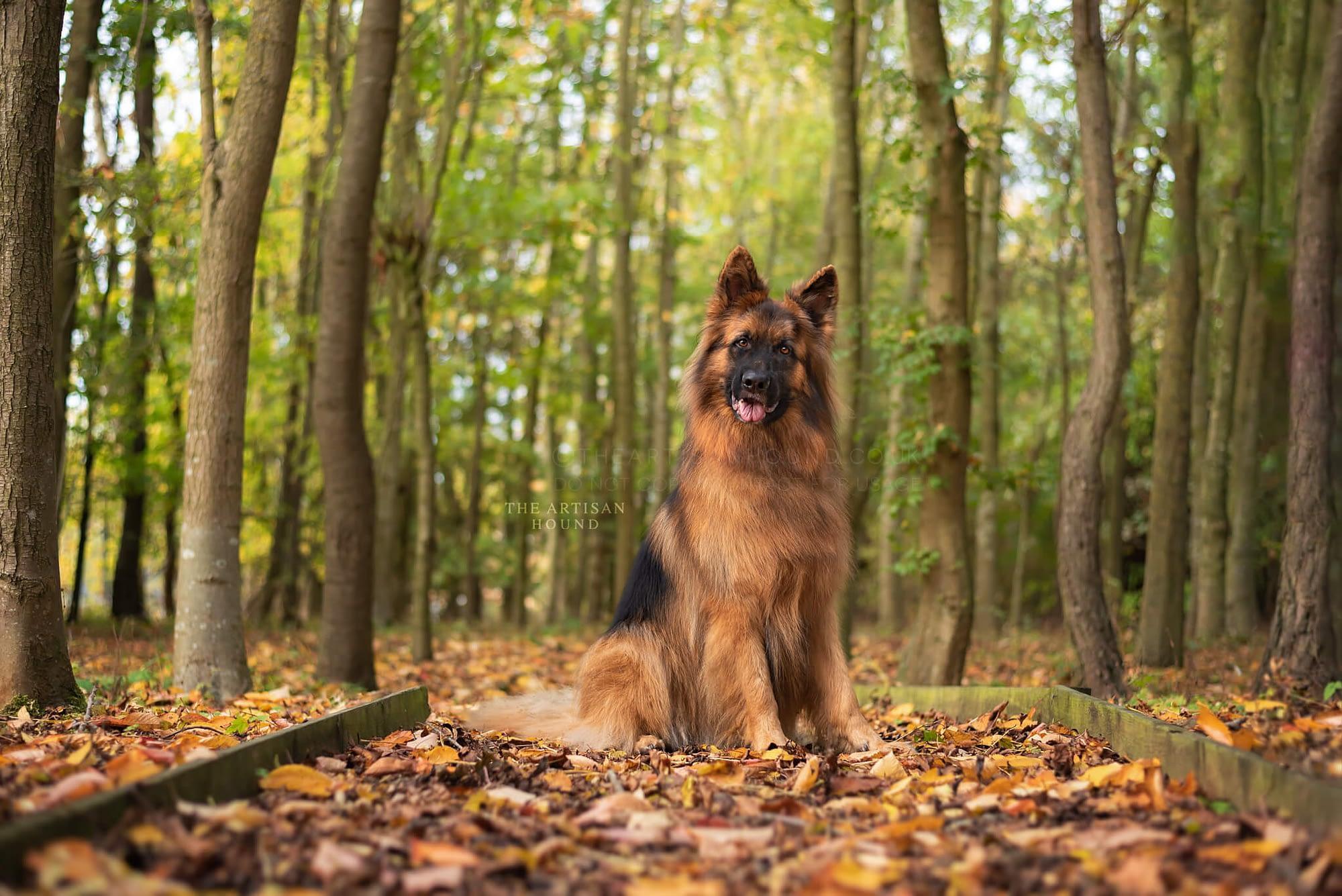 German Shepherd sitting on path in autumn leaves