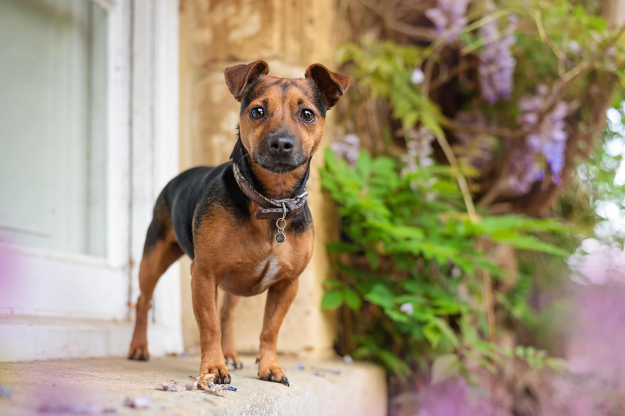 jack russell terrier in abington park