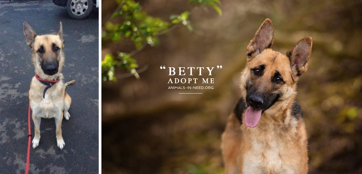 before after photo of german shepherd dog