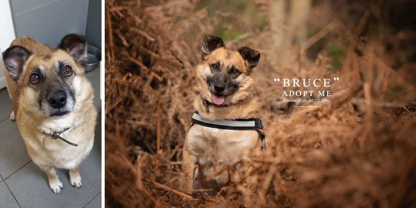 before after photo of brown crossbreed shelter dog