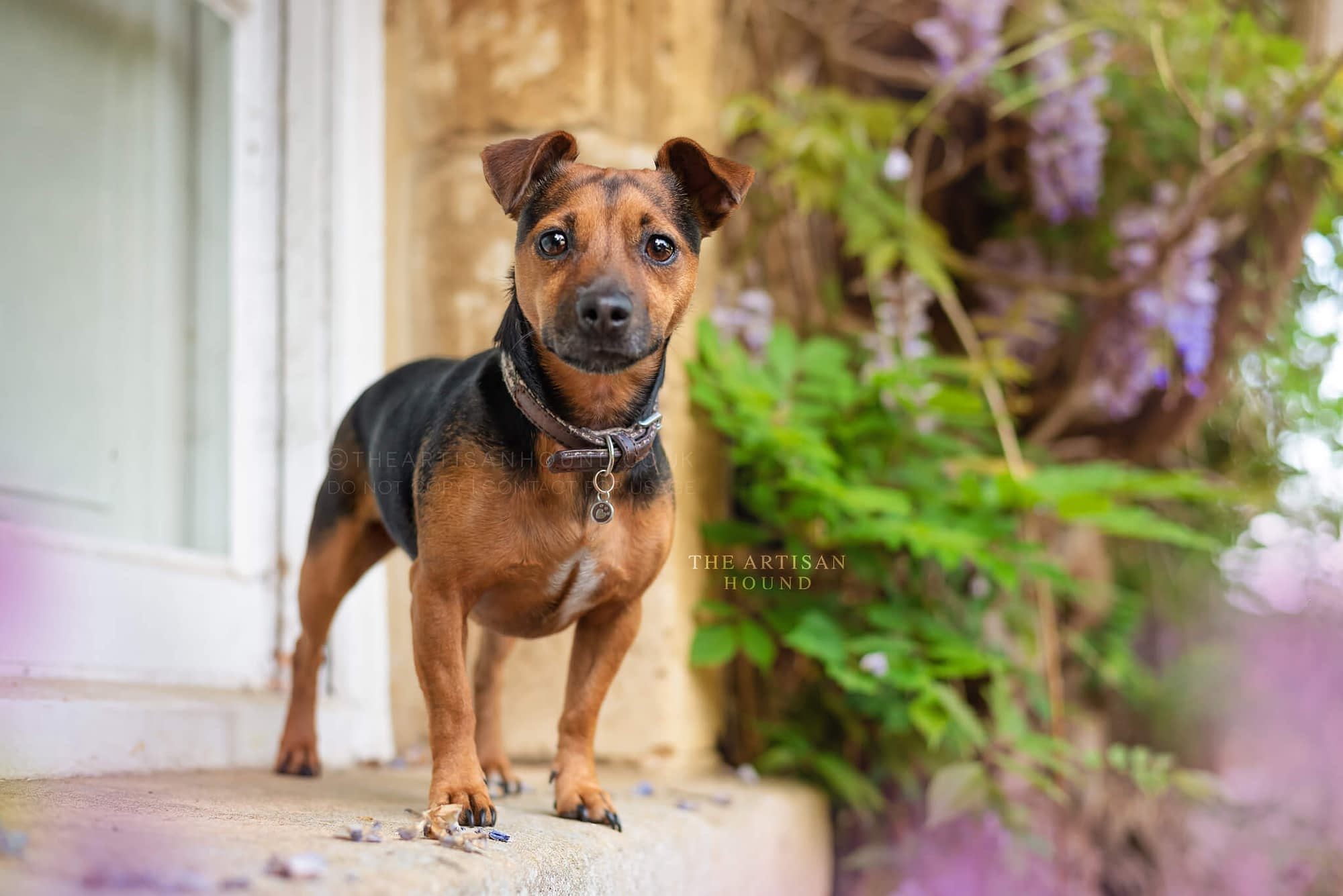 Jack Russell dog standing on window sill with wisteria tree